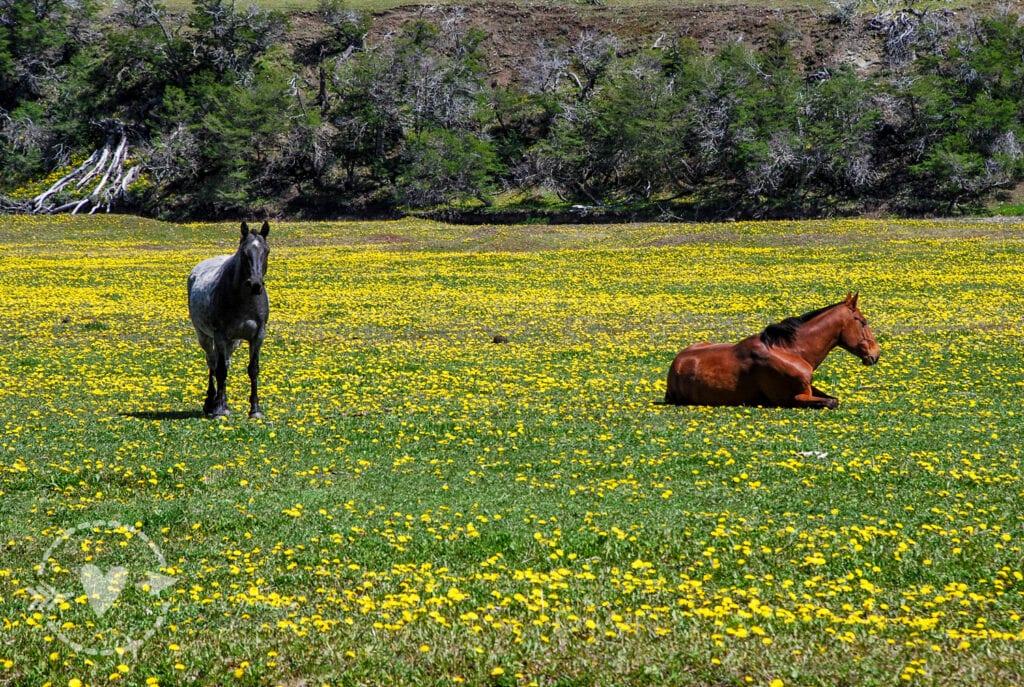 Cavalli selvaggi, Parco Nazionale delle Torri del Paine