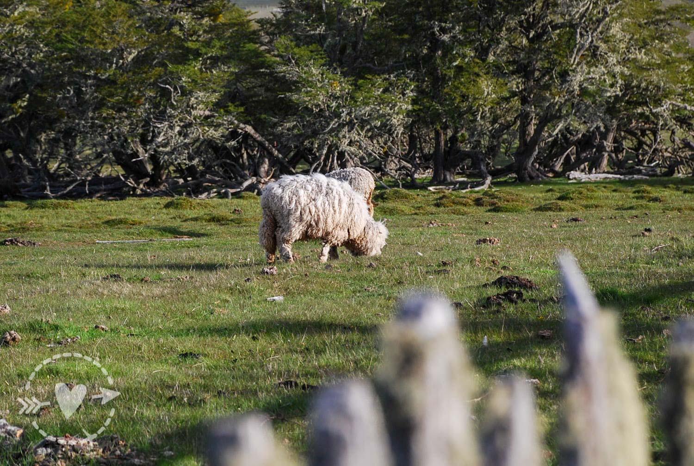 Pecore all'Estancia Tepi