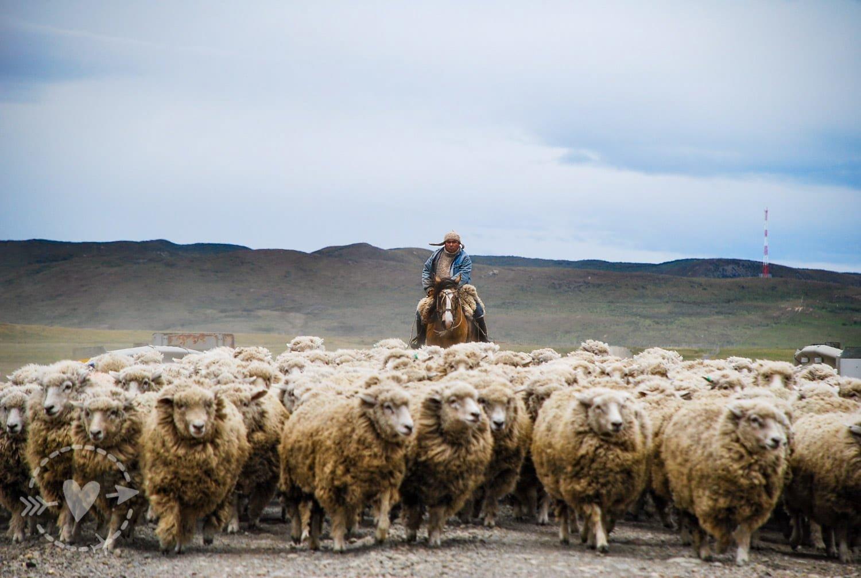 Goucho con le sue pecore, Punta Arenas, Cile