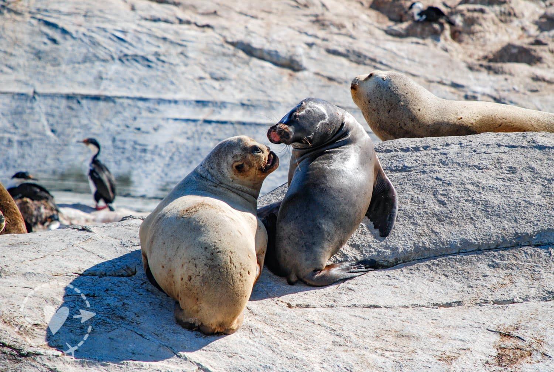 Leoni marini nell'arcipelago delle isole della Terra del Fuoco