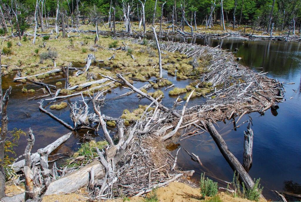 Diga fatta dai castori, Parque Nacional della Tierra del Fuego