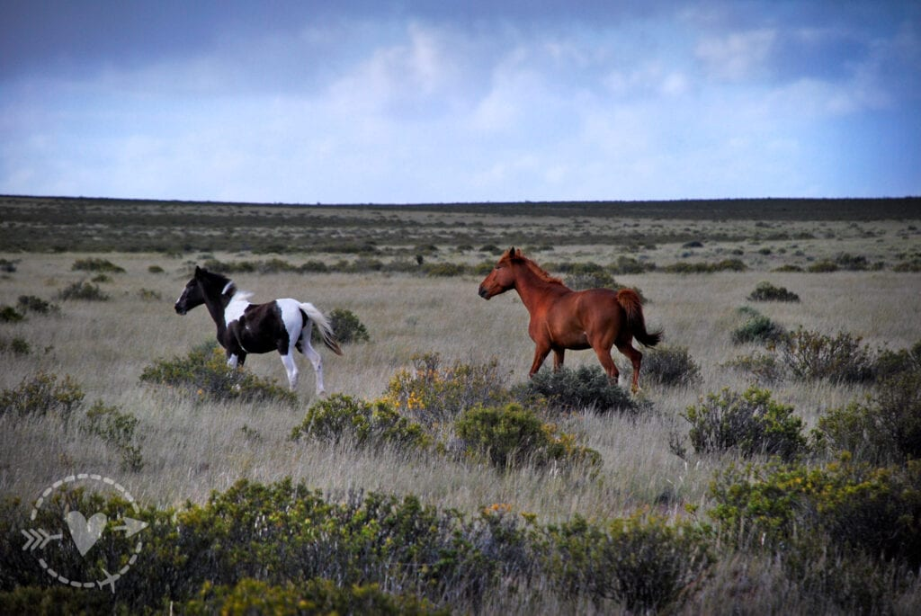Cavalli selvaggi, Penisola Valdes, Argentina