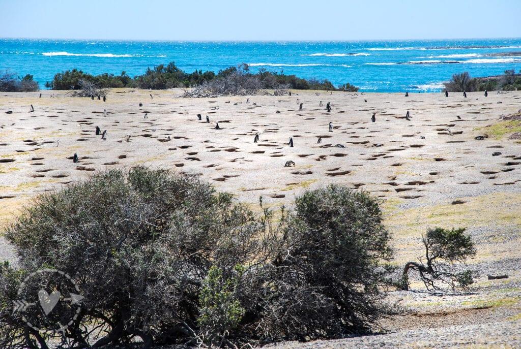 Colonia di pinguini Magellano