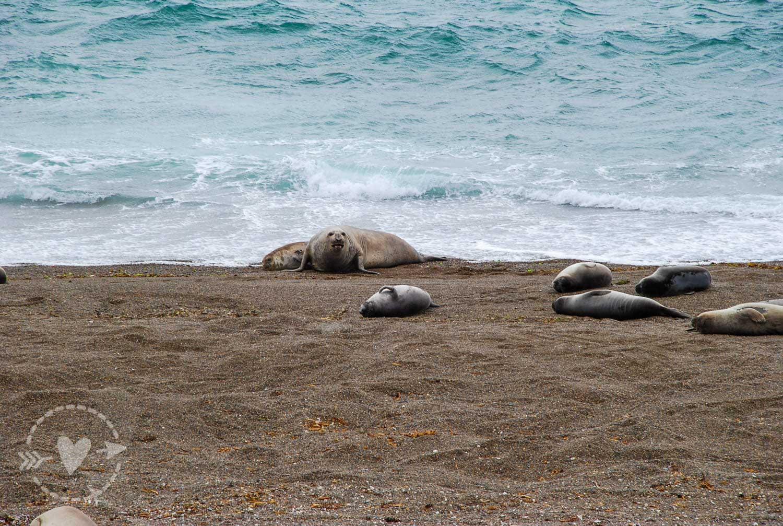 Leoni marini a Punta Norte, Penisola Valdes, Argentina