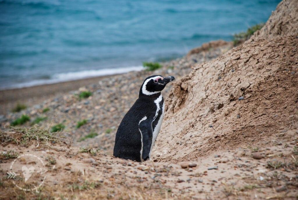 Pinguini di Magellano a Caleta Valdes, Penisola Valdes