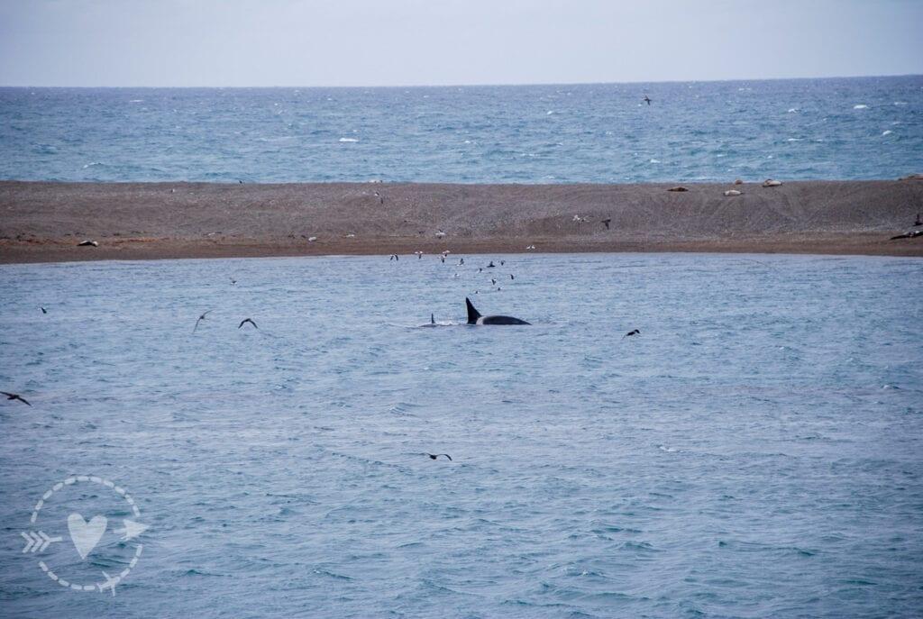 Orche marine a caccia di leoni marini