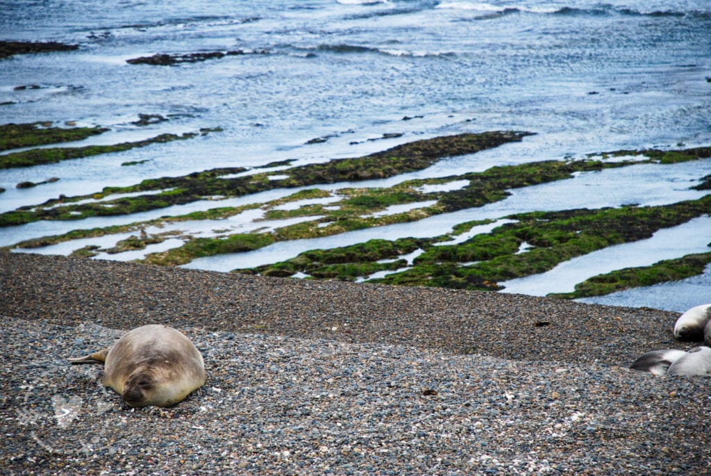 Leone marino, Penisola Valdes
