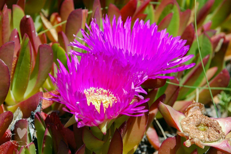 Fiore del Fico di Mare, Penisola Valdes, Argentina