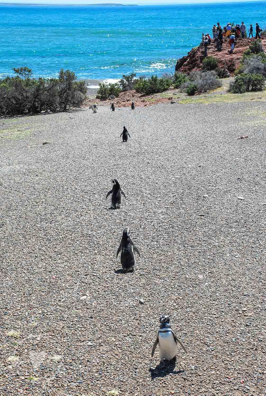 Pinguini di Magellano Argentina